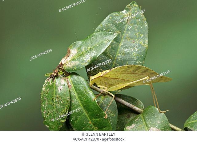 Katydid perched on a branch in Costa Rica