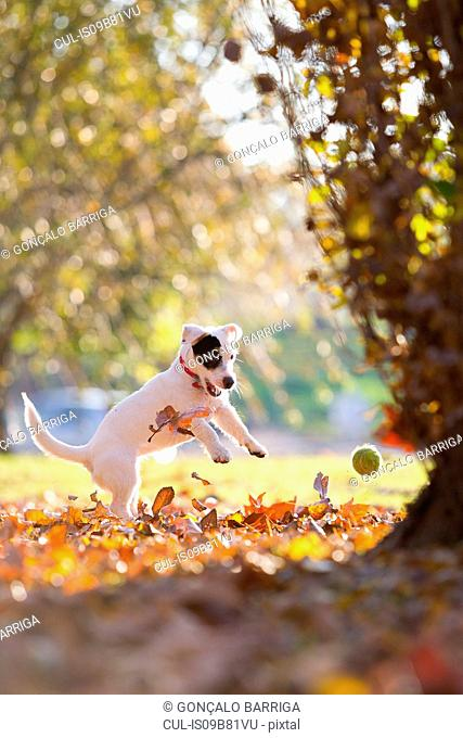 Jack russell chasing tennis ball