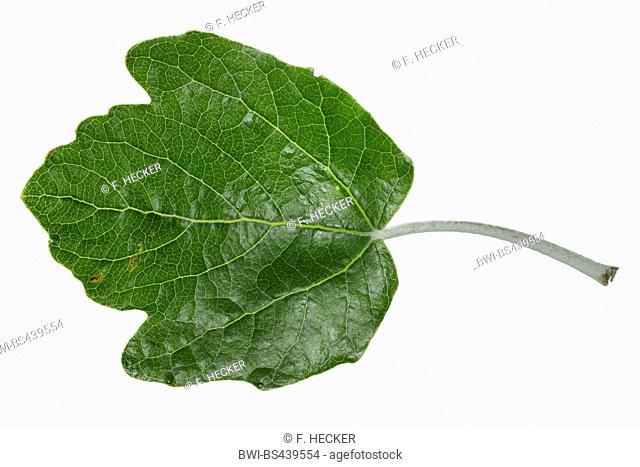 white poplar, silver-leaved poplar, abele (Populus alba), poplar leaf, upper side, cutout