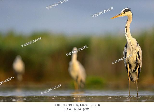 Grey Heron (Ardea cinerea), standing in water, Kiskunsag National Park, Hungary