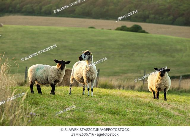 Sheep in South Downs National Park near Eastbourne, East Sussex, England. Summer evening