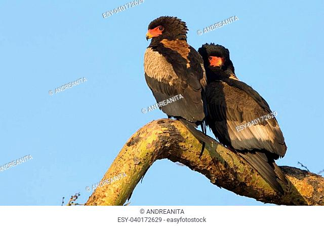 Two Bateleurs on a treebranch