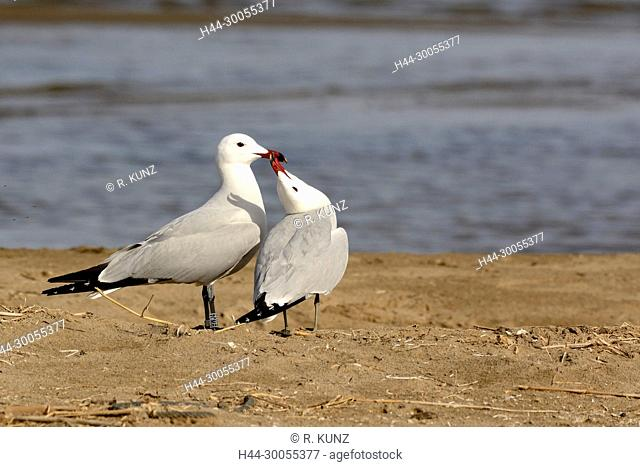 Audouin's Gull, Larus audouinii, Laridae, Gull, adult, breeding plumage, display, bird, animal, Ebro Delta, Province of Tarragona, Catalonia, Spain