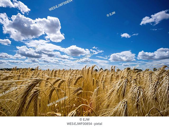 Austria, Hoersching, grain field, barley field