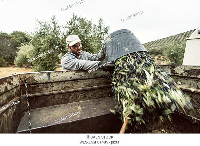 Spain, man throwing harvested black olives into trailer