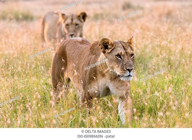Two lionesses (Panthera leo),walking, Masai Mara, Kenya, Africa