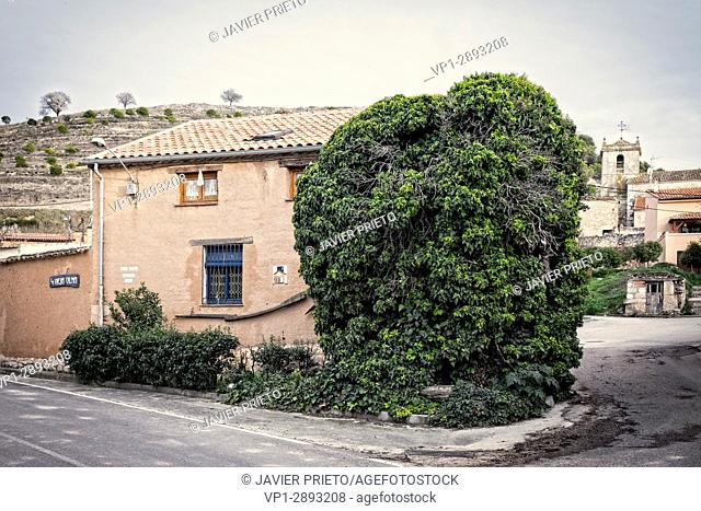Old elm covered with ivy next to the facade of the rural tourism house LA VIEJA OLMA. Place of Breakage. Valladolid. Ribera del Duero. Spain