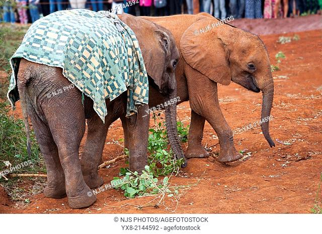 African elephants Loxodonta, David Sheldrick Wildlife Trust Orphanage in Nairobi, Kenya, East Africa