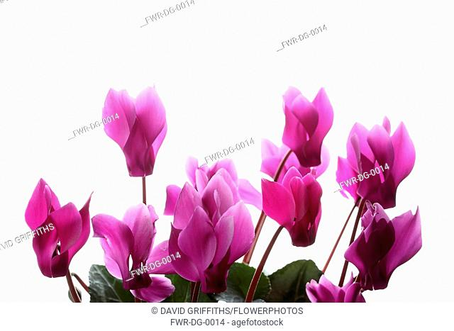 Cyclamen, Studio shot of several pink flower heads on stems