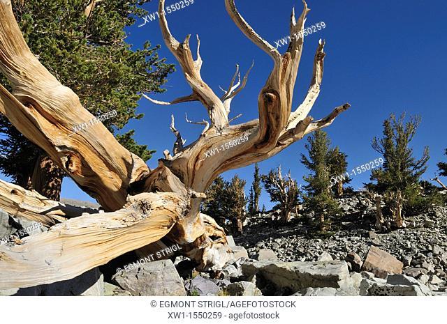 weathered wood of an ancient bristlecone pine pinus longaeva at Mount Wheeler, Great Basin National Park, Nevada, USA, North America