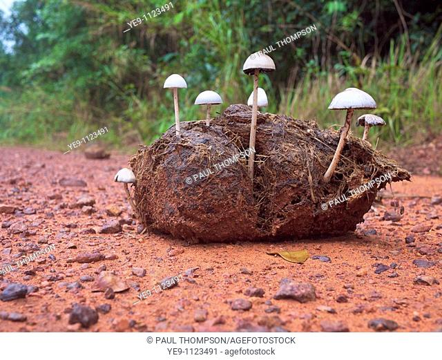 Wild Panaeolus antillarum mushrooms growing in elephant dung at Pang Sida National Park, Thailand