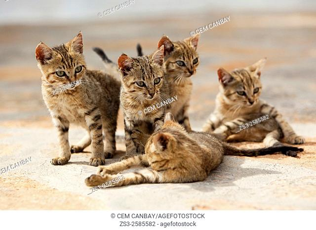 Young cats at the street, Mykonos, Cyclades Islands, Greek Islands, Greece, Europe