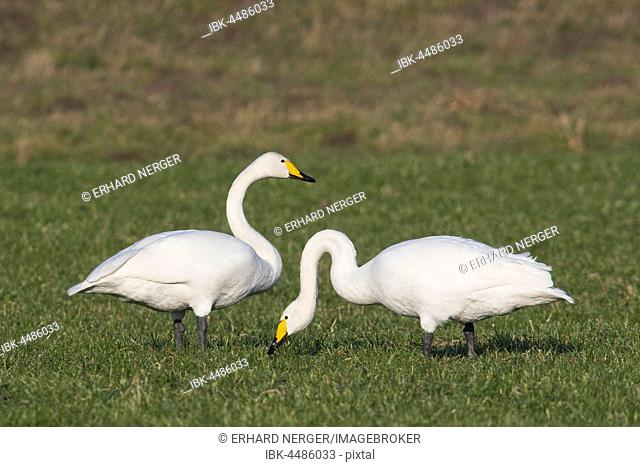Whooper swans (Cygnus cygnus), Emsland, Lower Saxony, Germany