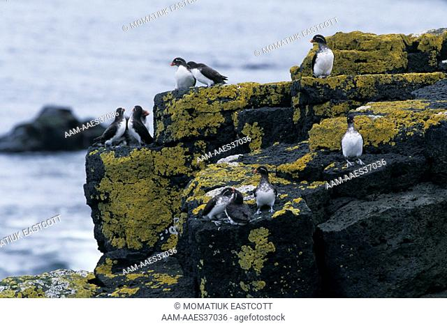 Cassin's Auklets in Bering Sea Cliffs (Ptychoramphus aleuticus), St. Paul Is., Pribilofs, AK