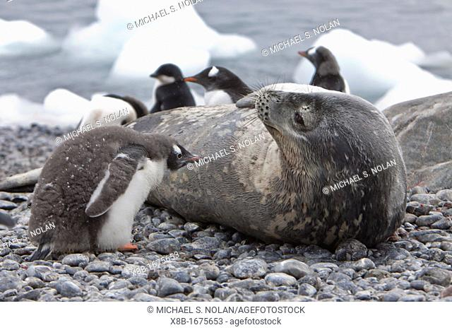 Weddell Seal Leptonychotes weddellii hauled out on the beach at Brown Bluff on the Antarctic Peninsula, Southern Ocean