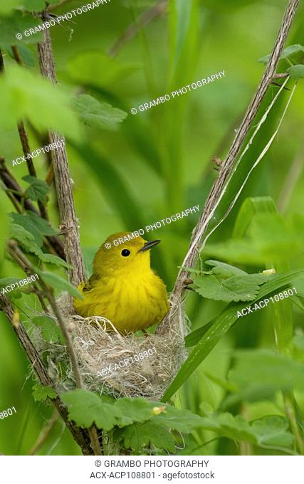 Yellow Warbler, Dendroica petechia, on nest in spring, Point Pelee National Park, Ontario, Canada
