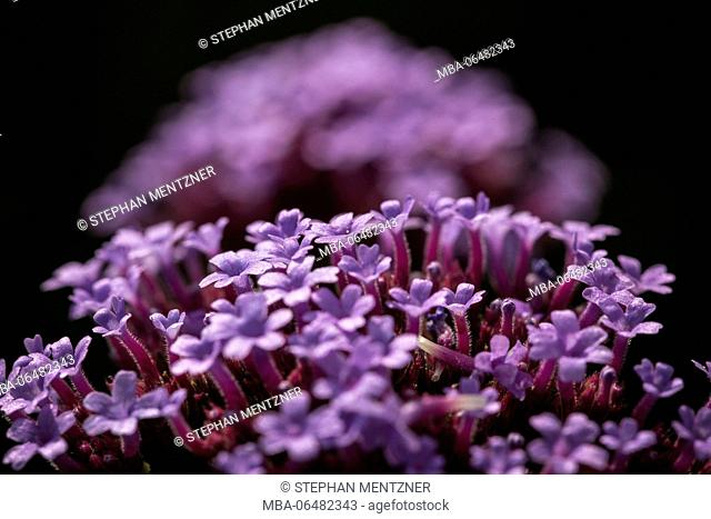 Inflorescence of the Verbena voucher aria sis, clustertop vervain, medium close-up