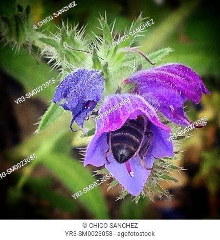 A bee eats inside a purple flower in Prado del Rey, Sierra de Cadiz, Andalusia, Spain
