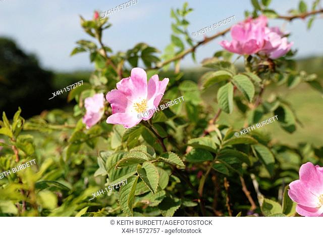 Rosa canina, Dog Rose in Welsh hedgerow