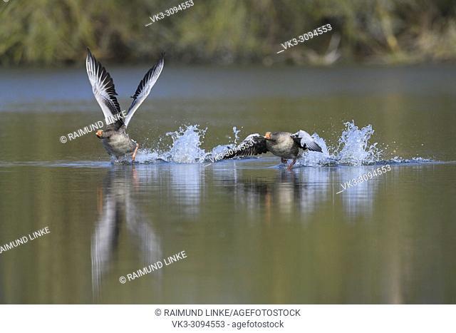 Greylag Goose, Anser anser, at departure