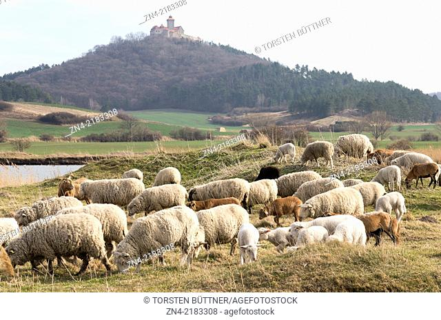 A Herd of Sheep in Front of Wachsenburg Castle. Thuringia. Germany