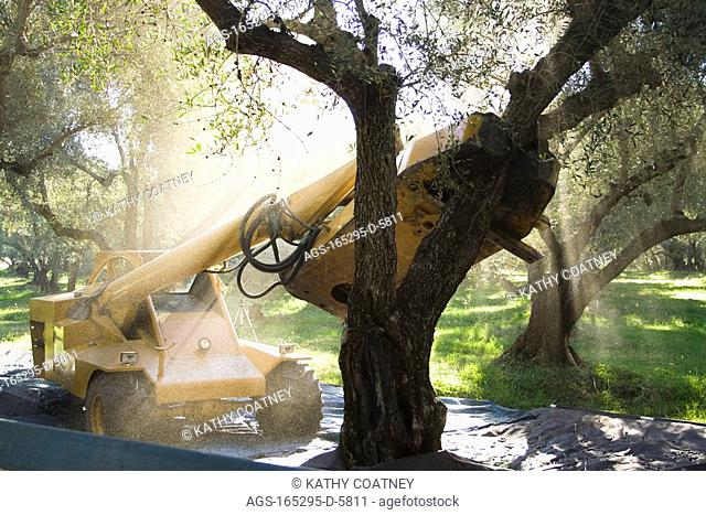 Agriculture - A mechanical shaker shakes Arbequina olives from the tree during the harvest. This variety of olive is processed for its oil / Northern CA - nr