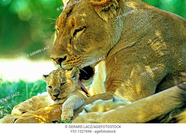 AFRICAN LION panthera leo, MOTHER LICKING BABY