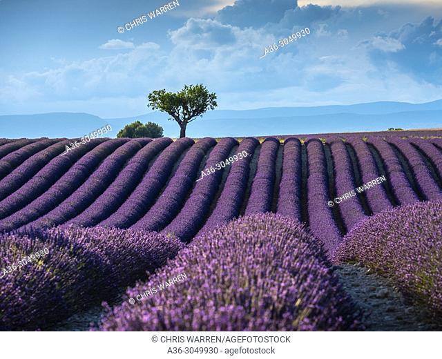 Lavender fields Valensole Plateau Forcalquier Alpes-de-Haute-Provence Provence-Alpes-Cote d'Azur France