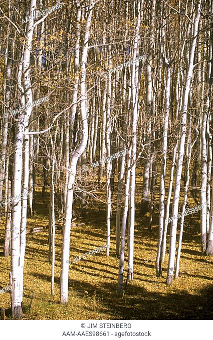Aspen Trees in dense Clump, Flat Tops Wilderness Area, Routt NF, Colorado
