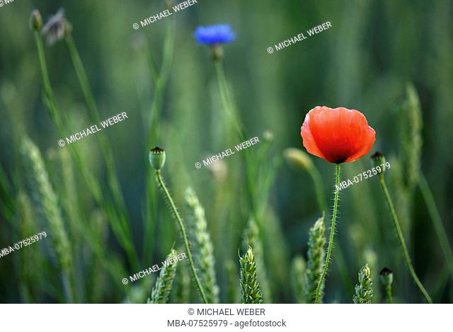 Corn poppy and cornflowers in wheat field, Stuttgart, Baden-Württemberg, Germany