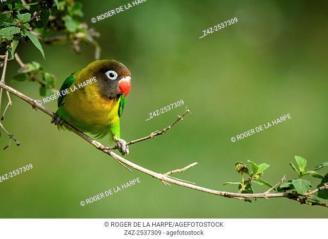 Fischer's Lovebird (Pavel Chonya). Lake Naivasha. Naivasha. Great Rift Valley. Kenya