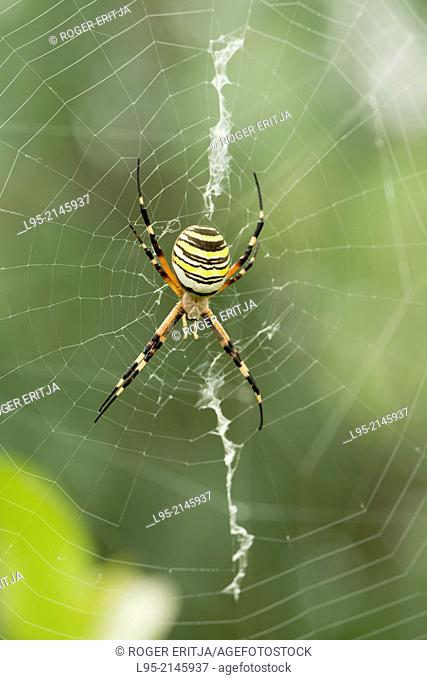 Wasp Spider (Argiope bruennichi) at the center of its web waiting for a prey to get caught, Spain