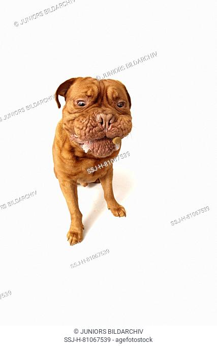 Dogue de Bordeaux, Bordeaux Mastiff. Adult male sitting, try to fetch a treat. Studio picture against a white background. Germany