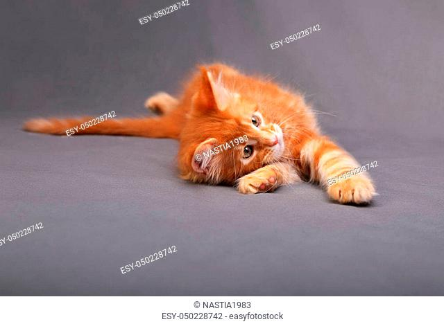 Playful fun red solid maine coon kitten lying with relaxing look with beautiful brushes on the ears on grey background