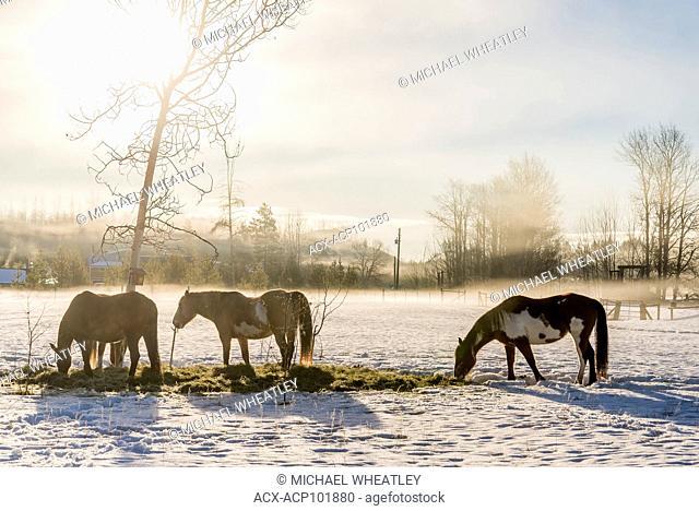 Horses feeding on hay in winter, 83 Mile House, Cariboo Region, British Columbia, Canada