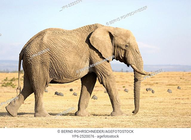 African Elephant (Loxodonta africana), Sweetwaters Game Reserve, Kenya