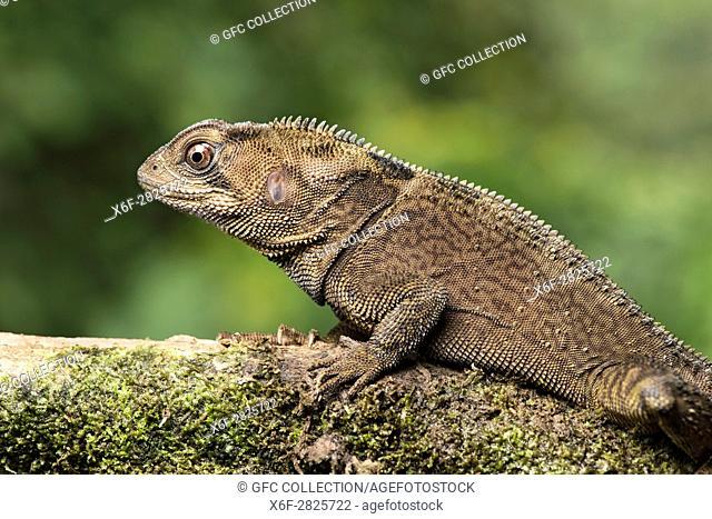 Stachelschwanzleguan (Enyalioides heterolepi), (Hoplocercidae), Amazonas Regenwald, Canande River Naturschutzgebiet, Choco forest