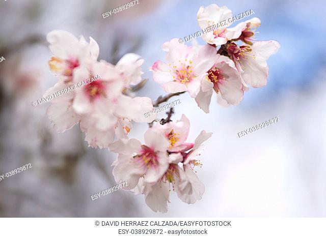 Close up almond tree flower. Shallow deep of field, selective focus