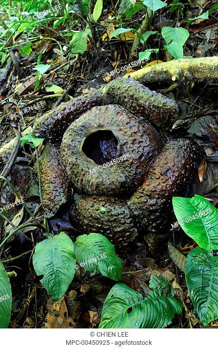 Rafflesia (Rafflesia tuan-mudae) quickly decays several days after blooming, Gunung Braang, Padawan, Malaysia