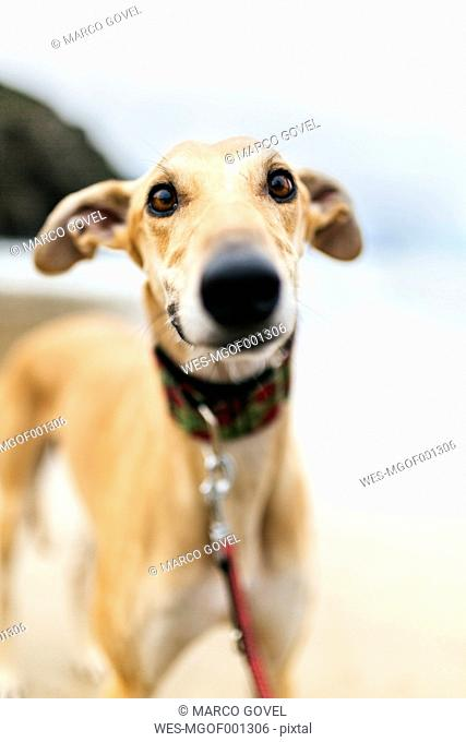 Spain, Llanes, portrait of greyhound on the beach