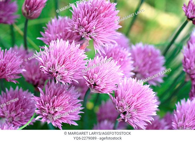 Chive herb flowers in beautiful home garden