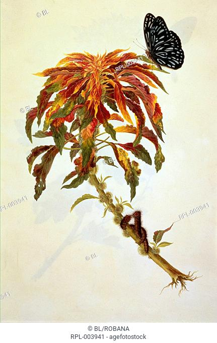 Butterfly and caterpillars on a large spray of a flowering plant. Watercolour. Originally published/produced in 1806