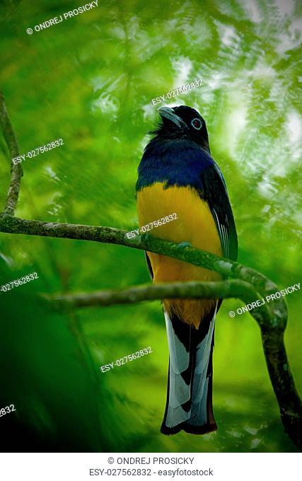 Tropic bird in the forest. Guianan Trogon, Trogon violaceus