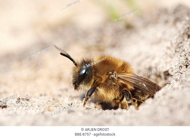 A Mining Bee (Colletes cunicularius) emerging from a hole in the ground
