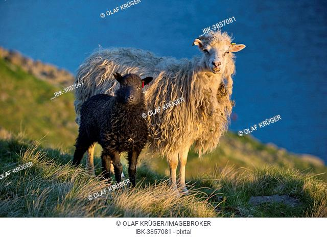 Ewe and lamb, Mykines, Faroe Islands, Denmark