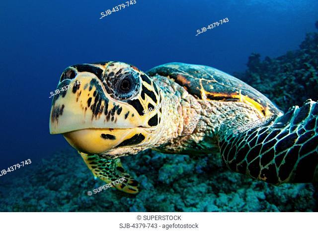 A hawksbill turtle Eretmochely imbricata head first, South Ari Atoll, The Maldives