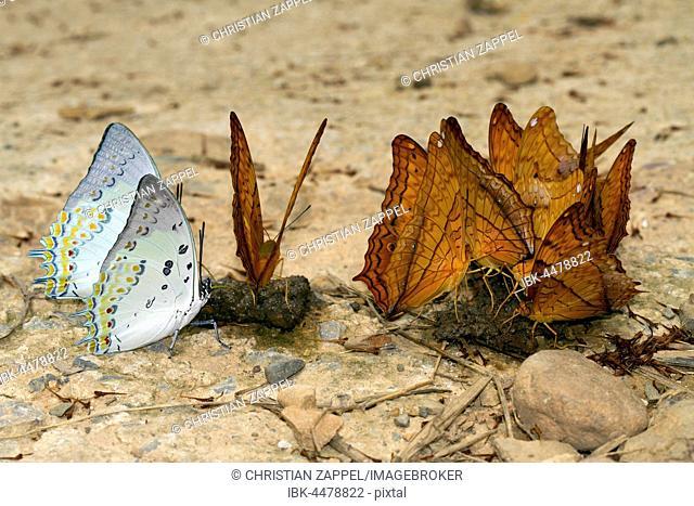 Common Yeoman (Cirrochroa tyche Mithila) and Nawab butterfly (Polyura nepenthes), Kaeng Krachan National Park, Phetchaburi, Thailand