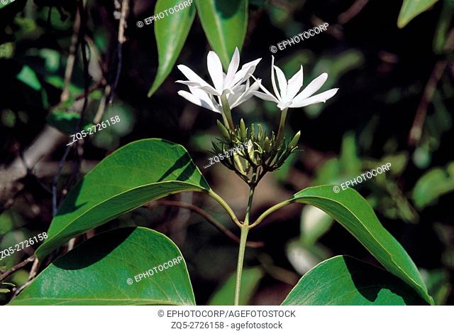 Jasminum Malabaricum. Family: Oleaceae. A large to medium-sized climber that grows wild along the Western Ghats in India