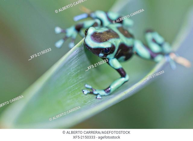 Green and black poison dart Frog, Dendrobates auratus,Tropical Rainforest, Costa Rica, Central America, America