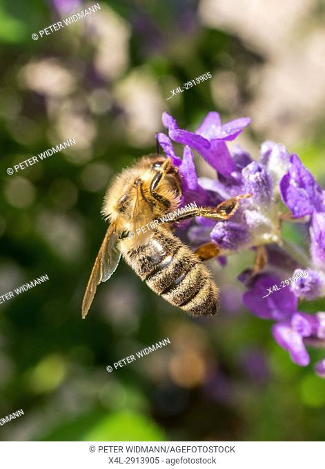 Western Honey bee Apis mellifera collecting pollen on lavender blossom, Bavaria, Germany, Europe